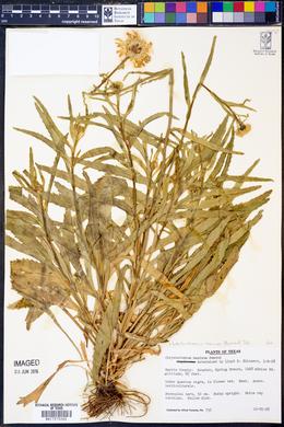 Leucanthemum maximum image