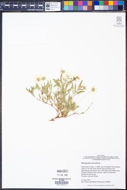 Melampodium leucanthum image