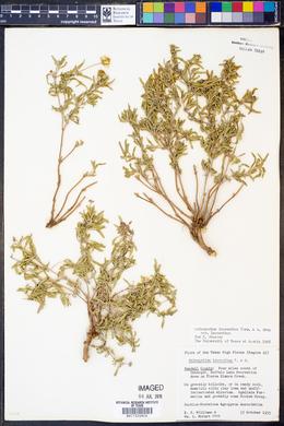 Melampodium leucanthum var. leucanthum image