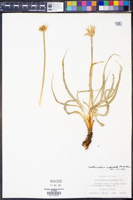Nothocalais cuspidata image