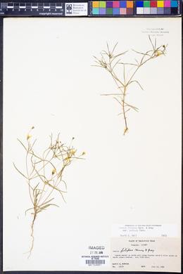 Pectis filipes image