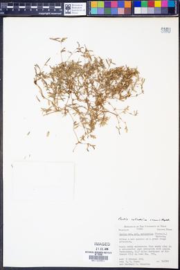 Pectis cylindrica image