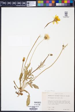 Pyrrhopappus pauciflorus image