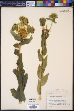 Silphium radula image