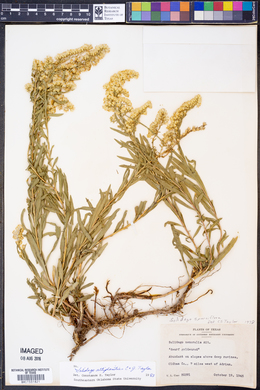 Solidago altiplanities image