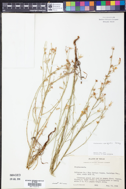 Stephanomeria tenuifolia image
