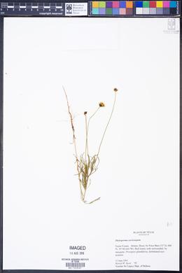 Image of Thelesperma curvicarpum