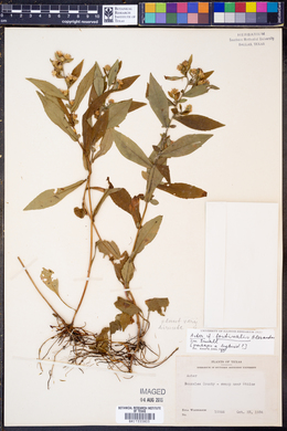 Image of Aster fontinalis