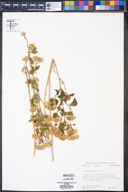 Image of Eupatorium azureum