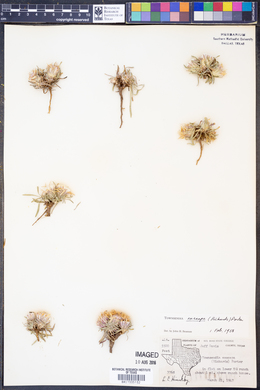 Townsendia exscapa image