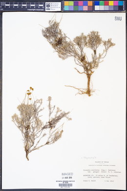 Thymophylla setifolia var. greggii image