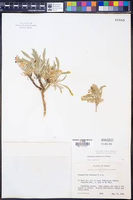 Stenandrium barbatum image