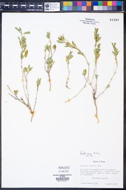 Ruellia parryi image