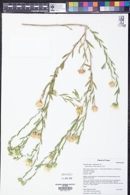 Xanthisma texanum image