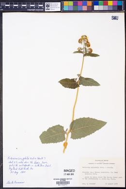 Verbesina oreophila image