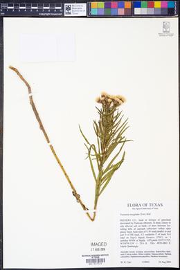 Vernonia marginata image