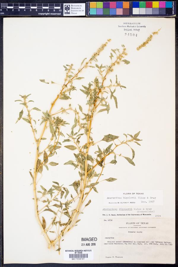 Amaranthus bigelovii image