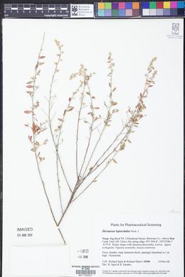 Iresine leptoclada image