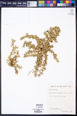 Gossypianthus lanuginosus image