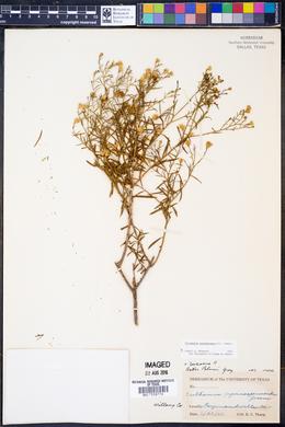 Image of Ericameria austrotexana
