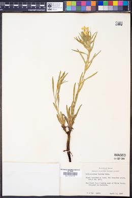 Lithospermum incisum image