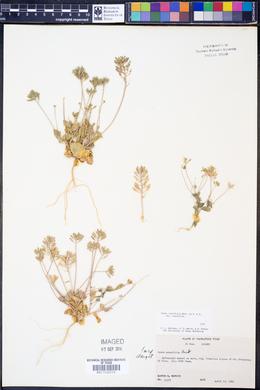 Draba cuneifolia var. cuneifolia image