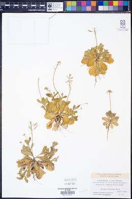 Draba cuneifolia image