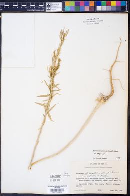 Erysimum capitatum image