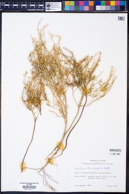 Lepidium lasiocarpum image