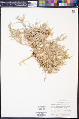 Lesquerella fendleri image