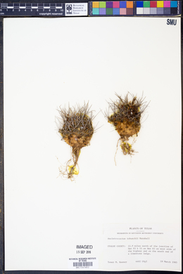 Image of Ancistrocactus tobuschii