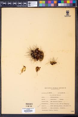 Image of Echinocereus conoideus