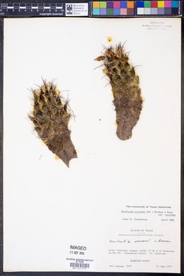 Neolloydia conoidea image
