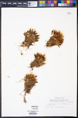 Mammillaria longimamma image