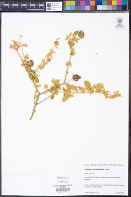 Buddleja marrubiifolia image
