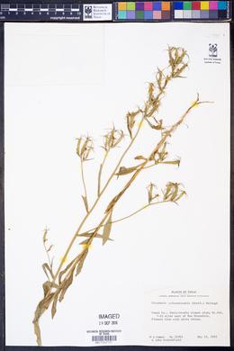 Triodanis coloradoensis image