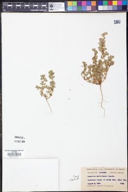 Chamaesyce stictospora image
