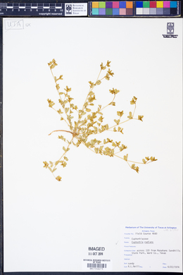 Euphorbia radians image