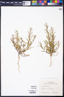 Tragia leptophylla image