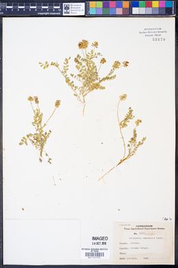 Astragalus brazoensis image