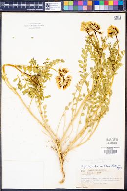 Image of Astragalus argillophilus