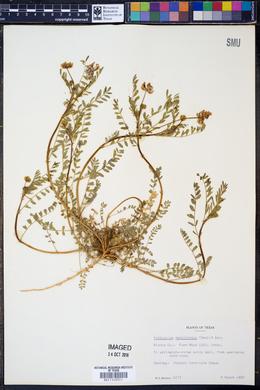 Image of Astragalus macilentus