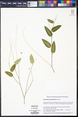 Desmodium psilophyllum image