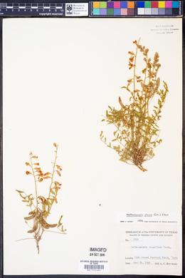 Hoffmanseggia glauca image