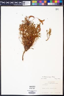Hoffmanseggia drepanocarpa image