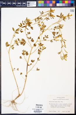 Melilotus indica image