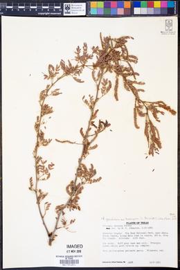 Prosopis glandulosa var. torreyana image