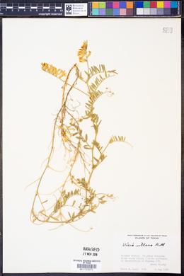 Vicia villosa var. varia image