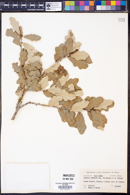 Quercus sinuata var. breviloba image