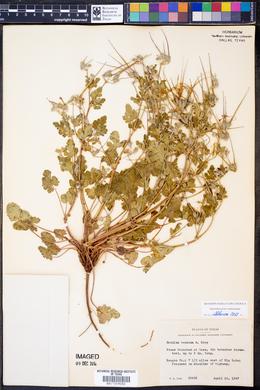Erodium texanum image